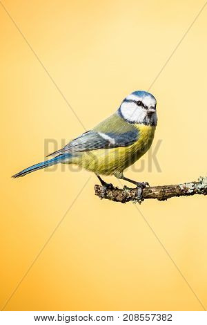 Colorful Male Blue-tit Perched On Dry Twig