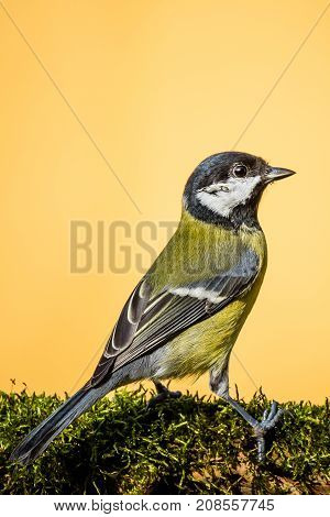 Colorful Male Great-tit Sit On Dry Twig