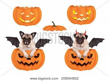 cute funny pug dog in pumpkin dressed up for Halloween as bat and devil isolated on white background