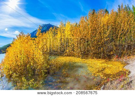 Flooded coastal  birch groves. Rocky Mountains of Canada in the Indian summer. Magnificent turquoise Abraham Lake. The concept of ecological and active tourism