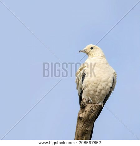The pied Imperial Pigeon perched on a tree stump againts blue sky background. This species of dove is considered to be a symbol of peace, love and tranquility and is indigenous to Southeast Asia.