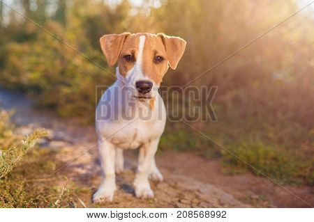Portrait of Jack Russell Terrier. cute puppy dog on autumn alley