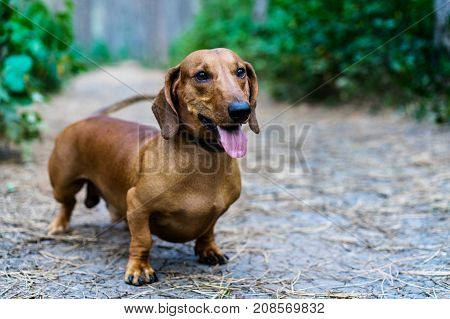 A beautiful red dachshund sticking out his tongue walks in the park amidst green trees in the open air.