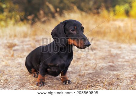 funny portrait of a dog (puppy) breed dachshund black tan in the autumn park