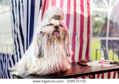 Beautiful decorative dog breed the Shih Tzu on the show. A glamorous companion for girls and family. Champion exhibitions. dog show.