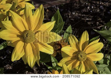 Wide close up view of a vibrant yellow flowers near Bathurst, New Brunswick on a bright sunny day with blue skies and clouds in August.