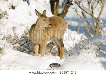 Whitetail deer fawn in the winter