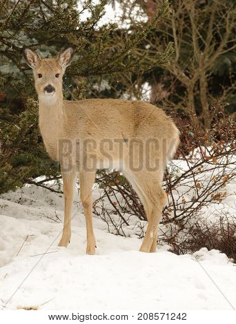 young Whitetail deer in winter