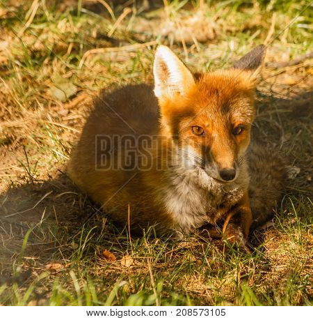 the intense glance of a fox stolen in a park /close-up of a fox resting in a park