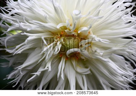 Large white flower dahlias with a considerable quantity of narrow long petals.