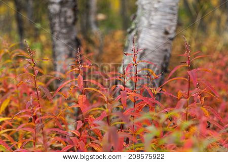 Closeup of fireweed, willowherb on a meadow, autumn. Colorful valley up North.