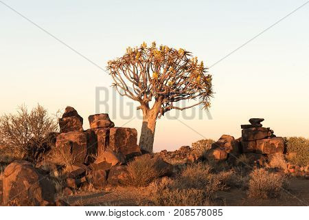 Sunrise at the quiver tree forest at Rest Camp near Keetmanshoop on the B1-road to Mariental