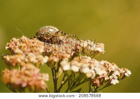 Spider On Flower. Photo Close Up. Predator Mimicry