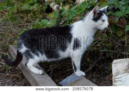 Spotted cat stands on a blackboard in the grass and looks