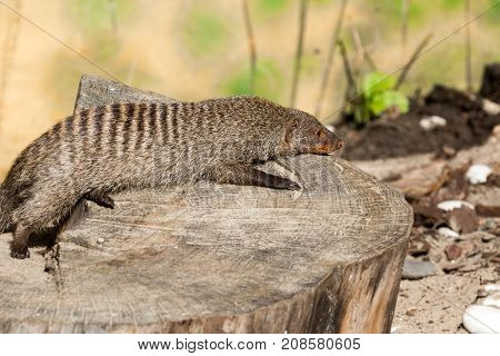 The Striped Mongoose Rests On A Stump In Ruaha National Park ,iringa,tansania