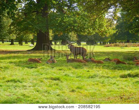 Red deer stag bellowing to ward off rivals and protect his hinds during the rutting season