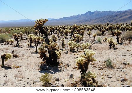 Cholla Cacti in Joshua Tree National Park