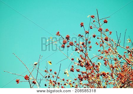 Autumn background with autumn trees. Branches of autumn rowan berry tree against blue sky. Autumn tree tops, free space for text. Autumn nature background with seasonal autumn rowan berry tree