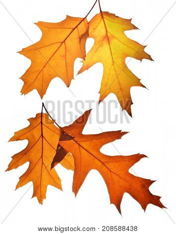 Autumn leaves of oak tree isolated on white background.