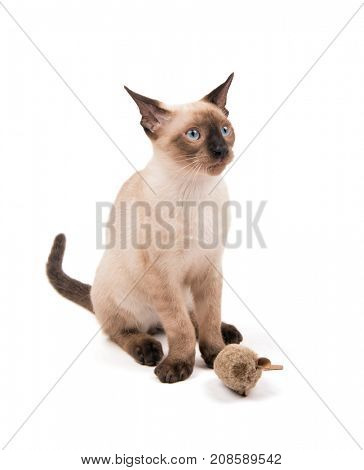 Young Siamese cat sitting with a toy looking up, on white