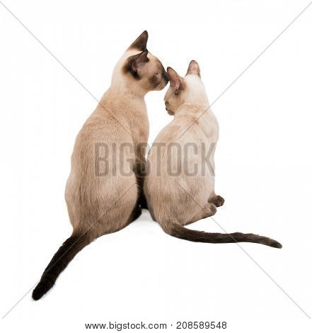 Two young Siamese cats sitting next to each other, showing affection, on white