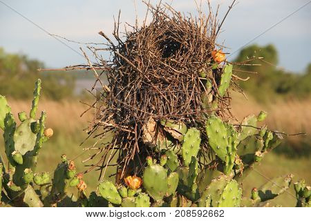 nests on branches and cactus in bloom in spring