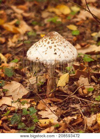 Big Mushroom White Spotted Cap Forest Autumn Floor