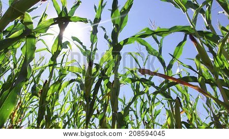 Corn field corn motion video farm steadicam farming. green grass agriculture united states nature usa corn farm