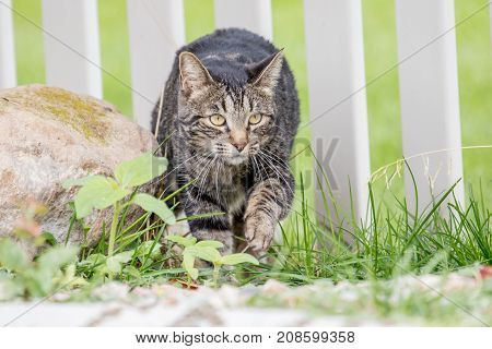 Sly cat sneaking into the yard through the fence to hunt birds