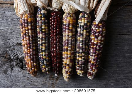 High angle shot of a group of flint corn cobs. Also known as Indian Corn, Calico Corn and Ornamental Corn.