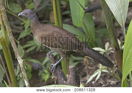 Gray headed Chachalaca Near Arenal Volcano National Park in Costa Rica