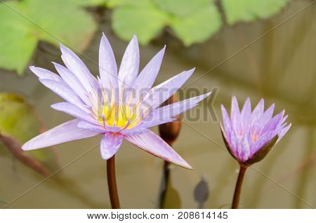 Purple waterlily flower blossom in a pond
