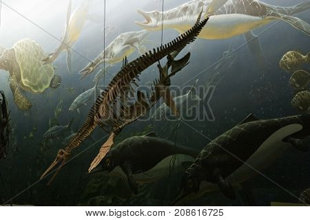 Washington, DC - September 9 2014 - Vertical close up of a prehistoric sea creature skeleton displayed at the Smithsonian National Museum of Natural History in September