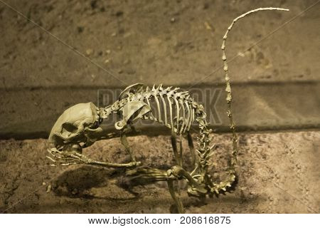 Washington, DC - September 9, 2014 - Wide close up of the skeleton of a prehistoric rodent displayed at the Smithsonian National Museum of Natural History in Washington