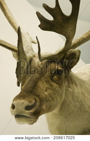 Washington, DC - September 9, 2014 - Vertical close up of a huge moose head shoulders and antlers displayed at the Smithsonian National Museum of Natural History in Washington.