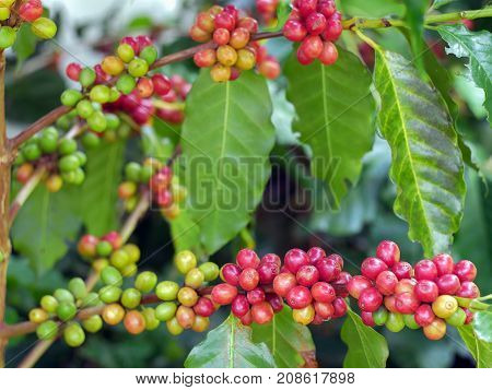 Cherry coffee beans on the branch of coffee plant before harvesting.
