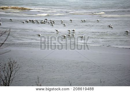 A flock of ring-billed gulls (Larus delawarensis) stands on the thinning ice covering Little Traverse Bay, near Bay View, Michigan, during March.