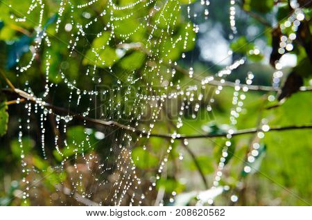Large white spider web without spider in dew in the morning on a green summer background
