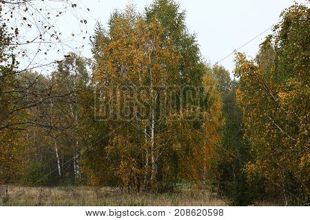Grey autumn morning. The birch edge of deciduous forest looks colorful and interesting despite such time.