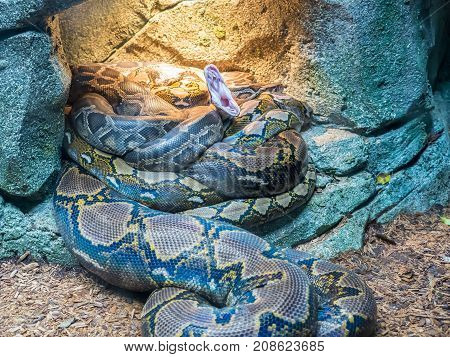 Portrait of beautiful Indian python that is yawning.