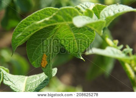 Eggs of the Colorado potato beetle on potato leaves