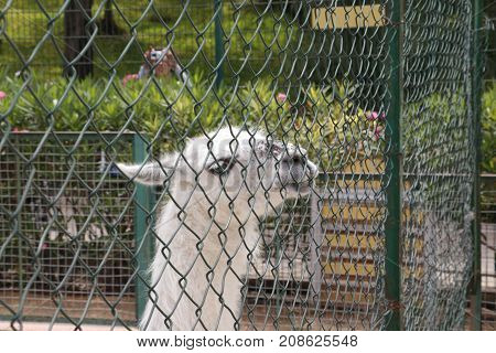 White Lama In Zoo