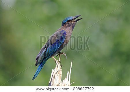 Indian Roller Coracias Benghalensis Beautiful Birds Of Thailand