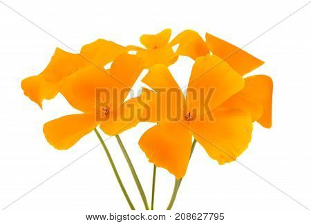 Californian poppy flower isolated on white background