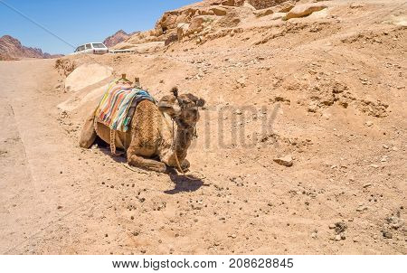 A camel with a saddle of Bedouins in the mountains of South Sinai Egypt