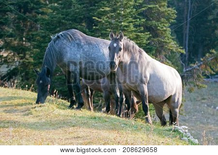 Wild Horses - Blue Roan and Silver Gray Grulla mares in the Pryor Mountains Wild Horse Range in Montana United States