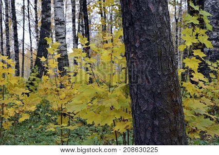 Autumn, nature, autumn forest. Cloudy sky. Golden autumn leaves. Gold maples.