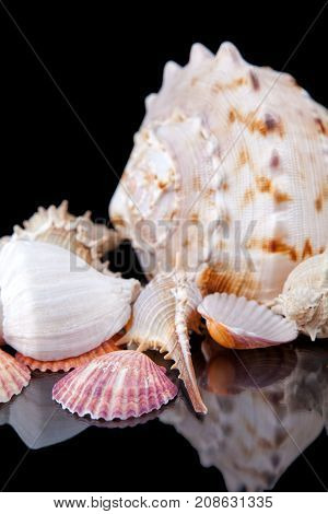 Sea shells conch isolated on black background .