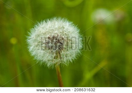 Dandelion. Nature background. Macro. Ease. Fluff background