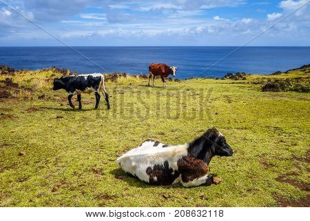 Cows on easter island cliffs pacific ocean Chile